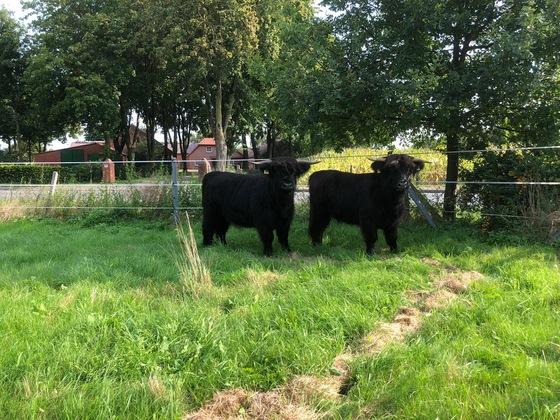 Unsere Beiden Herdbuch Highland Cattle Färsen , Jutti und Efke